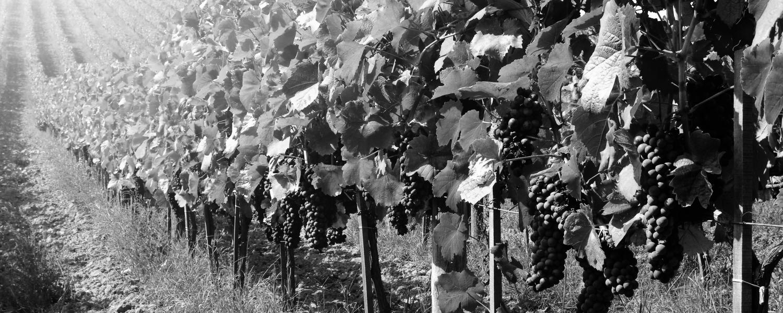 Röda viner görs på fältet – inte i vinkällaren